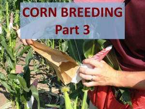 Corn Breeding Part 3